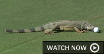 Iguana (Screengrab)