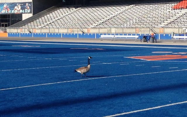Image result for Geese blue turf boise