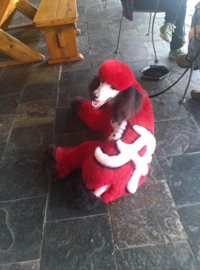 PHOTO: A poodle with an Alabama dye job