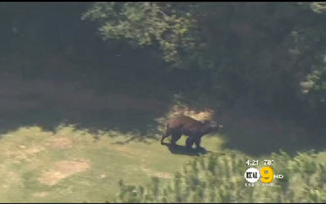 A bear invaded a golf course in Los Angeles on Monday afternoon. (Screengrab)